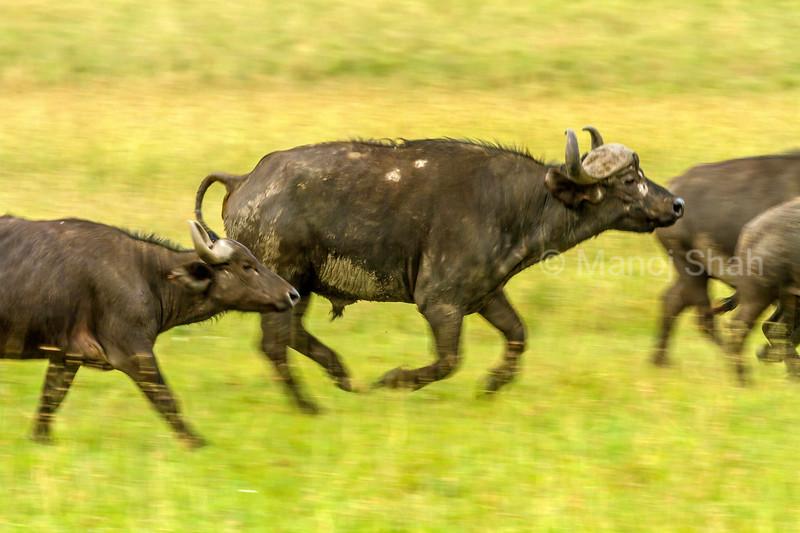 African Buffalos running in Masai Mara savanna.