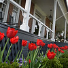 The tulips bloom in front of Lee House.