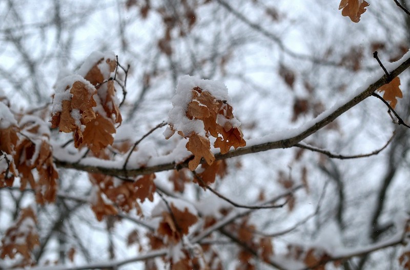 February 5, 2014 -Snow covers leaves in Brookline, Mass.  Photo: Grace Donnelly/BU News Service.