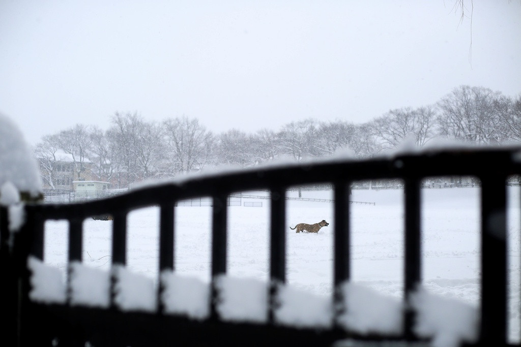 February 5, 2014 -A dog plays in Amory Park in Brookline, Mass. while a blizzard hits Boston, Mass. Photo: Grace Donnelly/BU News Service.