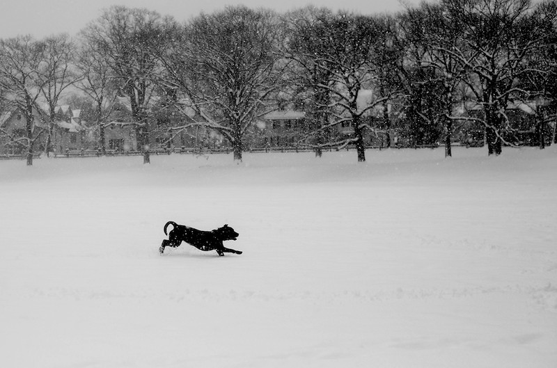 February 5, 2014 -A dog runs through Amory Park in Brookline, Mass.  Photo: Grace Donnelly/BU News Service.