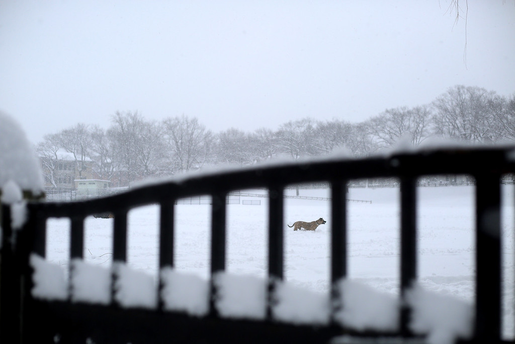 A dog plays in Amory Park in Brookline, Mass. while a blizzard hits Boston on Feb. 5, 2014. Photo by Grace Donnelly.