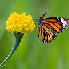 A Fleeting Vision - Danaus genutia butterfly / Мимолетное виденье – бабочка данаида