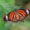 A Winged Tiger / Крылатый тигр