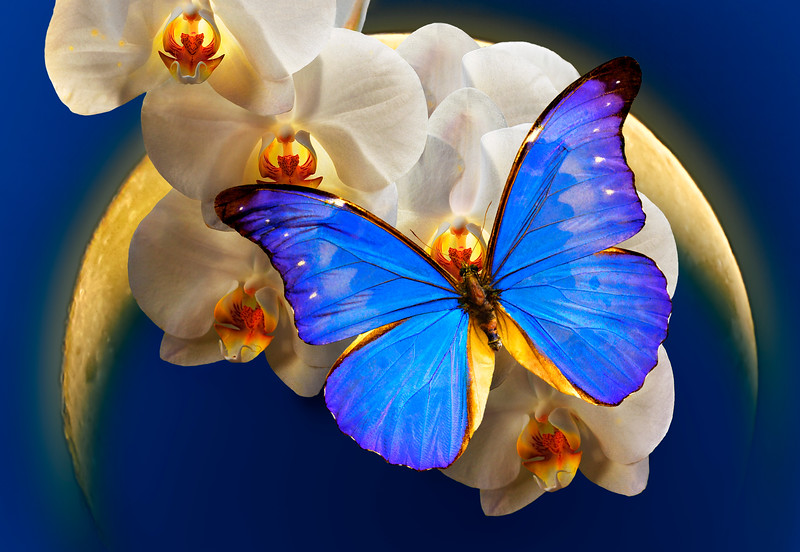 The Queen of Night - Morpho butterfly on orchid flowers with the Moon / Царица ночи - бабочка морфо на орхидеях в свете луны