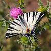 Podalirius — Papilio of Dream — butterfly on a flower/ Подалирий — Парусник мечты — бабочка на цветке