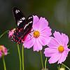 Honey-Flitter - Hector Butterfly / Крылатый медолюб - бабочка Гектор