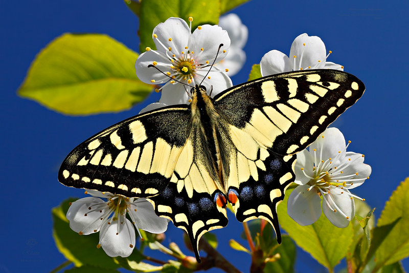 Sunny Papilio - Machaon butterfly / Солнечный парусник - бабочка Махаон