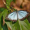 Sky-Winged Wanderer on a Leaf / Небокрылый странник на листе