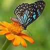 Honeyed Life - Blue Tiger Butterfly / Медовая жизнь - бабочка голубой тигр