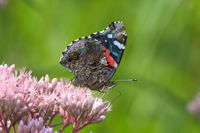 The undersides of the Red Admiral (Vanessa atalanta) are as colorful as its topside! [August; Chester Bowl, Duluth, Minnesota]