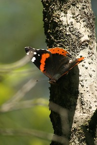 admiral Red Admiral Big Thicket TX 139_3969 JPG