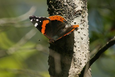 admiral Red Admiral Big Thicket TX 139_3968 JPG