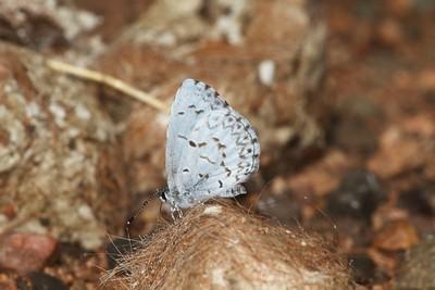 azure Spring Azure Celastrina ladon Sax-Zim Bog MN IMG_0059494 CR2