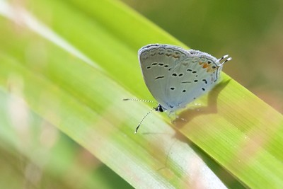blue Eastern Tailed-Blue Everes comyntas Skogstjarna Carlton County MN IMG_0060948 CR2
