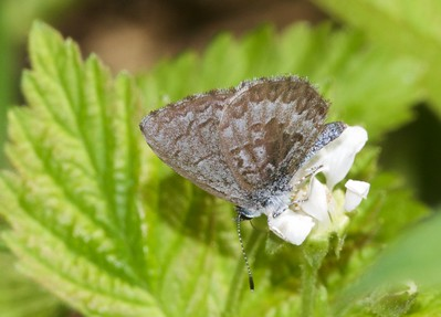 """azure Spring Azure Celastrina ladon """"lucia"""" morph Superior National Forest Cook County MN IMG_0008884 CR2"""