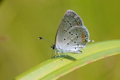 blue Eastern Tailed-Blue Everes comyntas Skogstjarna Carlton County MN IMG_0060955 CR2