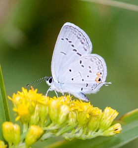 blue Eastern Tailed-Blue Everes comyntas Sax-Zim Bog MN IMG_9458 CR2