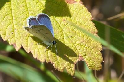 blue Eastern Tailed-Blue Everes comyntas Wrenshall WMA Carlton Co MN IMG_0064903