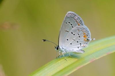 blue Eastern Tailed-Blue Everes comyntas Skogstjarna Carlton County MN IMG_0060957 CR2