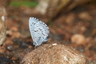 azure Spring Azure Celastrina ladon Sax-Zim Bog MN IMG_0059495 CR2