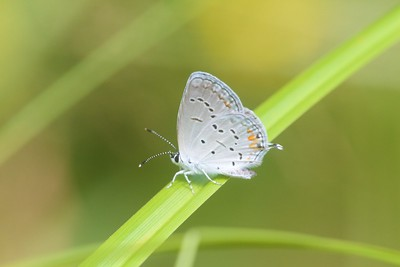 blue Eastern Tailed-Blue Everes comyntas Skogstjarna Carlton County MN IMG_0060964 CR2