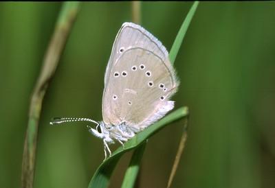 Blue, Silvery (B) SS