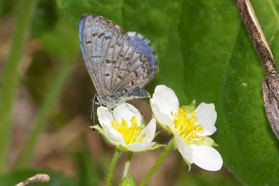 "azure Spring Azure Celastrina ladon ""ladon"" morph Superior National Forest Cook County MN IMG_0008869 CR2"