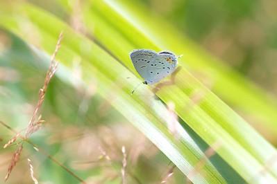 blue Eastern Tailed-Blue Everes comyntas Skogstjarna Carlton County MN IMG_0060949 CR2