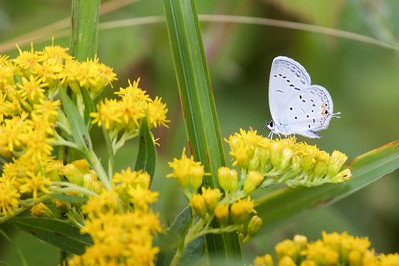 blue Eastern Tailed-Blue Everes comyntas Sax-Zim Bog MN IMG_9456 CR2