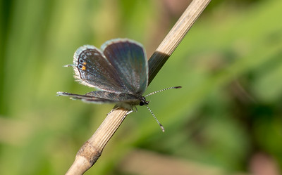 blue Eastern Tailed-Blue Everes comyntas Sax-Zim Bog MNDSC08590