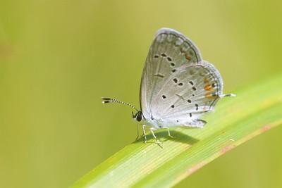 blue Eastern Tailed-Blue Everes comyntas Skogstjarna Carlton County MN IMG_0060954 CR2