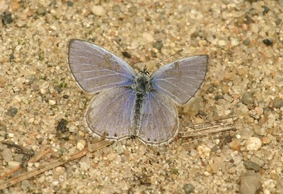 Blue Eastern Tailed Blue Everes comyntas A SS 471_7139