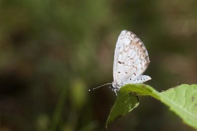 azure Spring Azure Celastrina ladon Skogstjarna Carlton Co MN IMG_5734 CR2