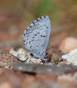 azure Spring Azure Celastrina ladon Sax-Zim Bog MN IMG_0059489 CR2