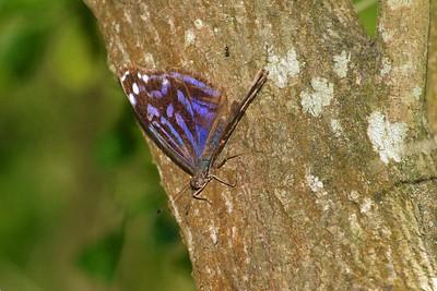 bluewing Mexican Bluewing Myscelia ethusa Santa Ana NWR TX 75-405_0532