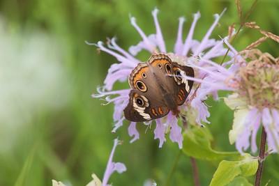 buckeye Common Buckeye Junonia coenia Nachusa Grasslands Franklin Grove IL IMG_0022943 CR2