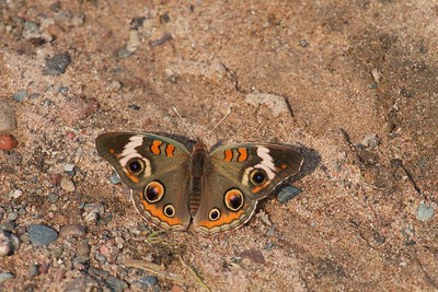buckeye Junonia coenia Hay Lake Carlton County MN IMG_0023780 CR2