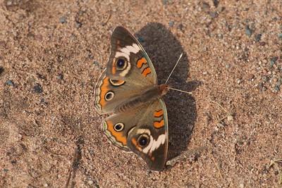 buckeye Junonia coenia Hay Lake Carlton County MN IMG_0023787 CR2
