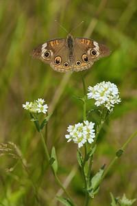 Buckeye Common Junonia coenia (A) SS 498_9857