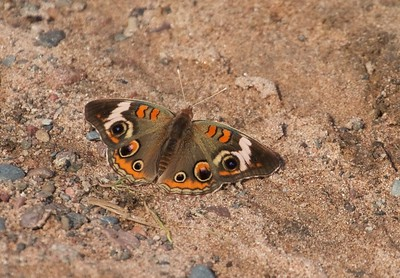buckeye Junonia coenia Hay Lake Carlton County MN IMG_0023777 CR2