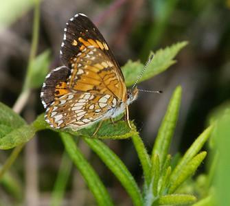 checkerspot Harris's Chlosyne harrisii Nickerson Bog Carlton County MN _MG_5356 (1)