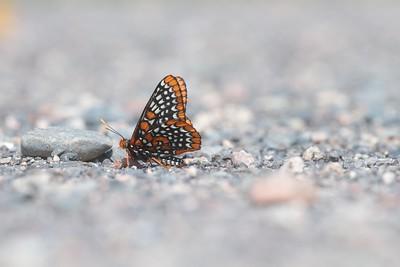 checkerspot Baltimore Checkerspot Euphydryas phaeton Sax-Zim Bog MN IMG_0059577 CR2