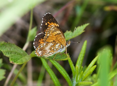 checkerspot Harris's Chlosyne harrisii Nickerson Bog Carlton County MN _MG_5356