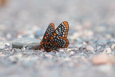 checkerspot Baltimore Checkerspot Euphydryas phaeton Sax-Zim Bog MN IMG_0059578 CR2