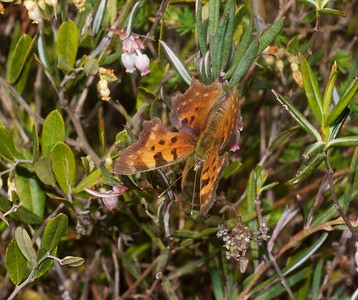 comma Eastern Comma Polygonia comma on Bog Rosemary Superior National Forest Cook County MN IMG_0008898 CR2