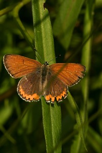 Bronze Copper males have more evenly colored upper wings [June; Douglas County, Minnesota]