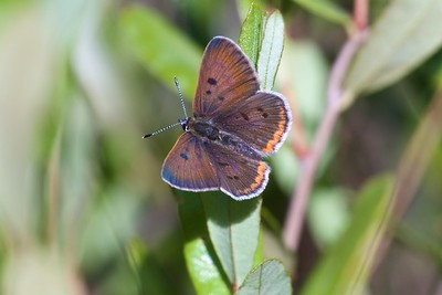 A tiny Black Spruce bog was alive with Bog Coppers (Lycaena epixanthe) on this July afternoon. The bogs must have cranberries (Vaccinium spp.) and this one did. [July 5; bog on Jay West Rd, Carlton County, MInnesota]
