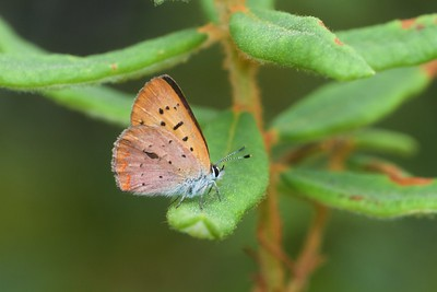 copper Dorcas Copper Lycaena dorcas Aitkin County MN IMG_0040168 CR2