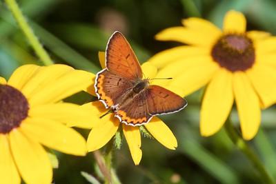 copper Bronze Copper Lycaena hyllus McDavitt Road Sax-Zim Bog MN IMG_6325 CR2